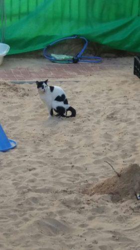 חתול עושה את צרכיו בחול בגן
