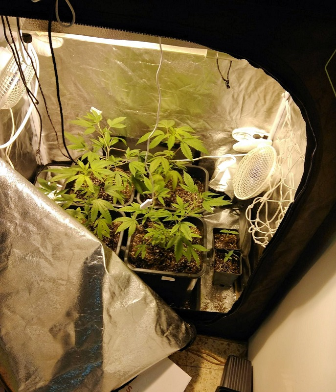 שתילי המריחואנה שנתפסו בדירה (צילום: דוברות המשטרה)