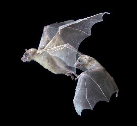 עטלפים (צילום: Brock Fenton)