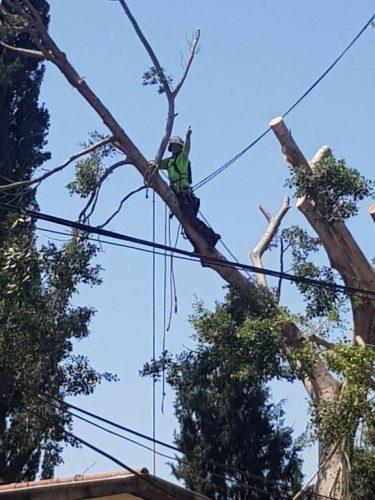 גיזום עצים במוסדות החינוך ברחובות