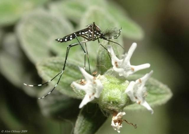 יתוש הטיגריס האסיאני (צילום: אלון עתני)