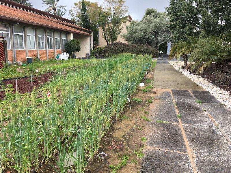 חלקת הדגמה של גידולי שדה בפקולטה לחקלאות (צילום: סמדר הרפז סעד)