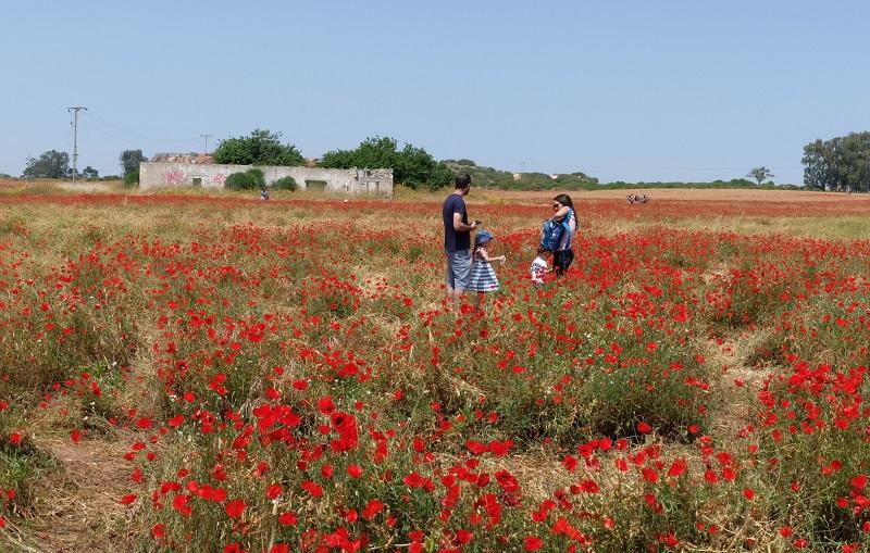 הפרגים בגבעות הכורכר (צילום: יורם טבת)