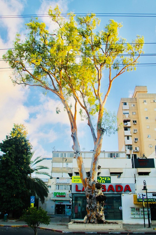 האקליפטוס ברחוב יעקב
